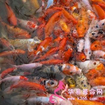 风水鱼主要有哪些品种