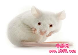 孕婦夢見小白鼠
