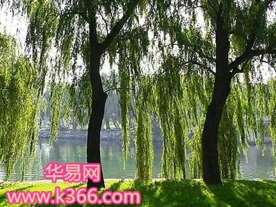 梦见柳树图片