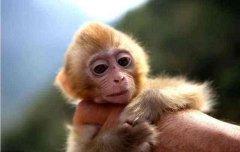 属猴子时出生是什么命?关于生肖猴人你了解多少?