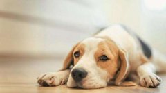 What is the fate of a dog born in the New Year, the fate of the dog born on the first day of the first month