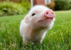 What is the life of the pig born in the New Year, the fate of the pig born on the first day of the first month