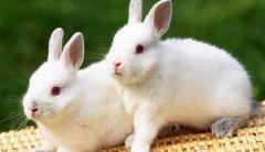 屬兔正月初一春節出生的人命運好不好,屬兔春節出生是什么命?