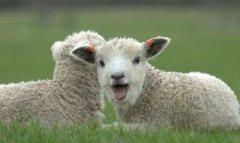 屬羊春節正月初一出生的人是什么命,屬羊春節出生好不好?