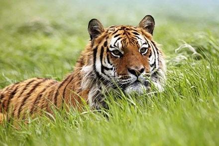 属虎人2021年全年运势完整版 今年属虎的财运和运气如何2021插图