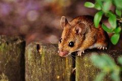 屬鼠的六合貴人是什么屬相?屬鼠幾點出生最好命?