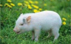 屬豬人命中注定的貴人,屬豬一生中的貴人是誰?