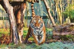 2022年属虎的文昌贵人是什么?属虎几点出生最好?