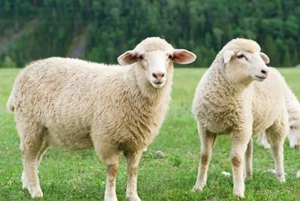 2020年屬羊人的貴人是什麼生肖?生肖羊2020年的貴人是誰?_華易算命網